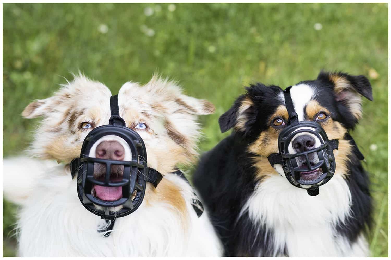 Maulkorbtraining Hundetrainer Hundeschule in Dresden Kai Hartmann